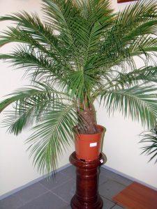 Домашняя пальма