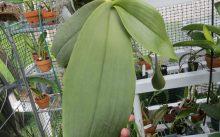 Гигантский фаленопсис