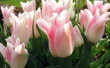 Лилиецветные тюльпаны