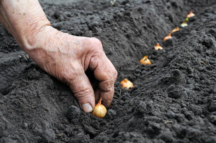 Как посадить лук в зиму правильно