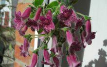 Наперстянкоцветковая