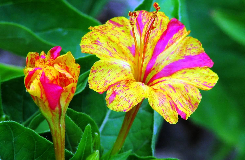 Цветок зорька иначе