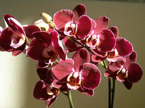Орхидеи фаленопсис