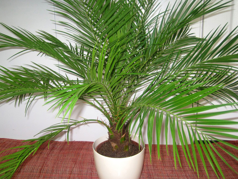 Пальма как за ней ухаживать
