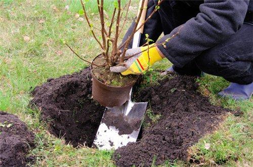 Посадка смородины и предпосадочная подготовка почвы