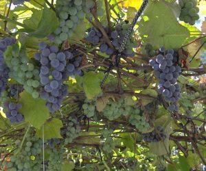 Uhod za vinogrado