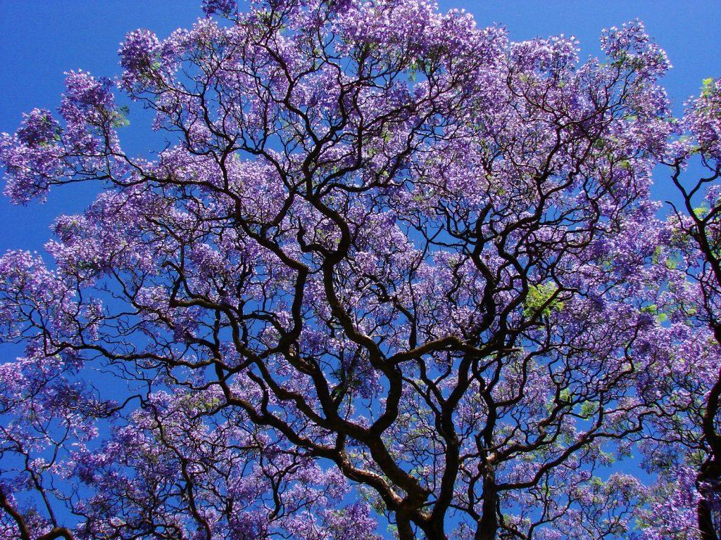 палисандровое дерево фото помимо светового