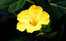 Желтая ночная красавица