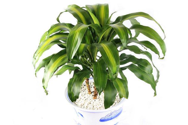 Кукурузная пальма