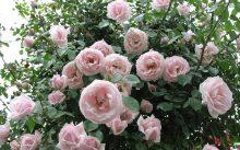 Розы плетистые: фото с названием сорта