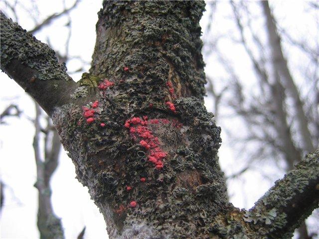Цитоспороз – заболевание коры