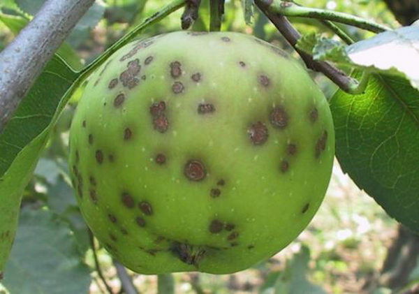 Яблоневый грибок – парша