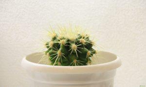 Как поливать кактус