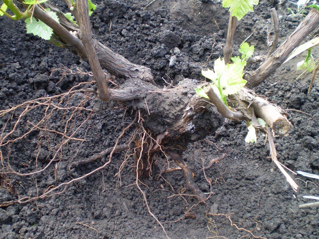Пересадка винограда осенью