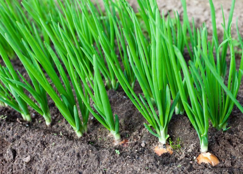 После лука посадить чеснок