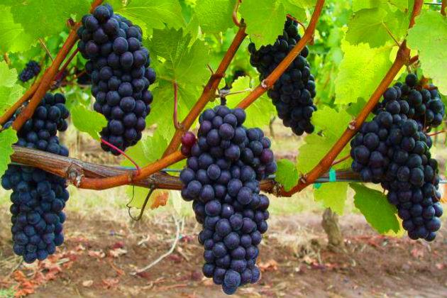 Вырастить виноград