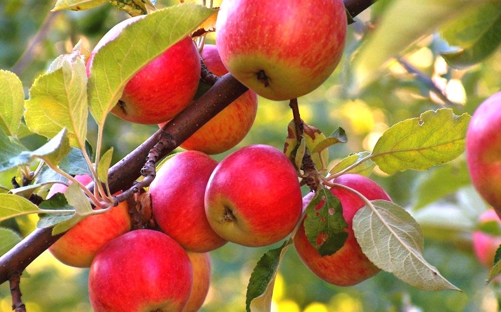 Яблони: их болезни и их лечение